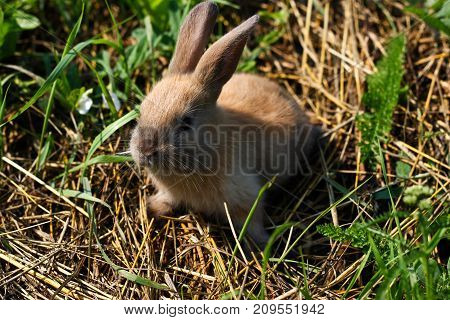 Red-haired rabbit on the farm. Red-haired hare on the grass in nature in the afternoon.