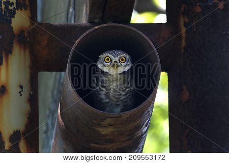Spotted Owlet Athene Brama Birds In Steel Pipe
