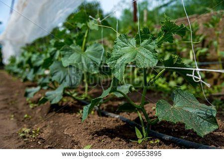 cucumber plant in a garden - selective focus