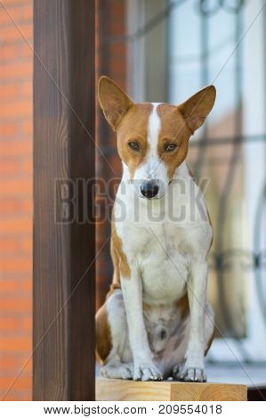 Royal basenji dog looking down while sitting against the house it lives