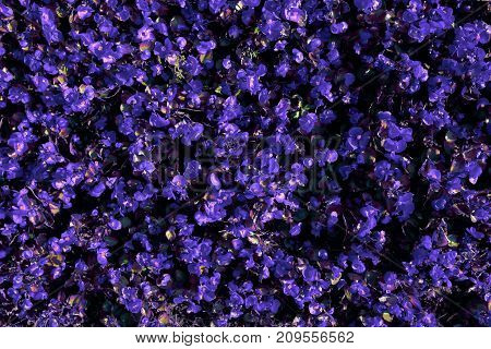 Many small purple flowers top view for background