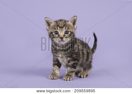 Cute tabby baby cat kitten walking towards the camera on a lavender purple background