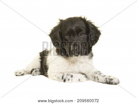 Cute stabyhoun puppy dog lying on the floor looking at the camera isolated on a white background