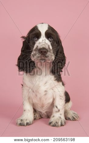 Cute chocolate and white english cocker spaniel puppy dog sitting on a pink background
