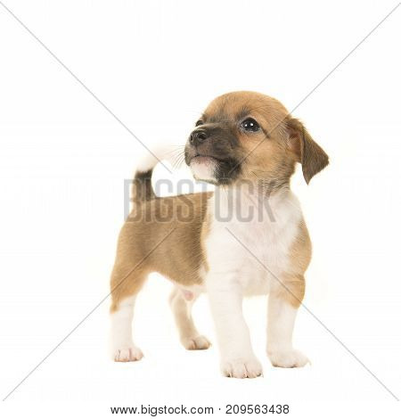 Cute brown and white jack russel terrier puppy seen from the front looking up standing isolated on a white background