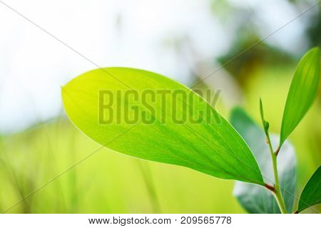 The Pattern And Texture Of Green Leaves Vein And Soft Yellow Light