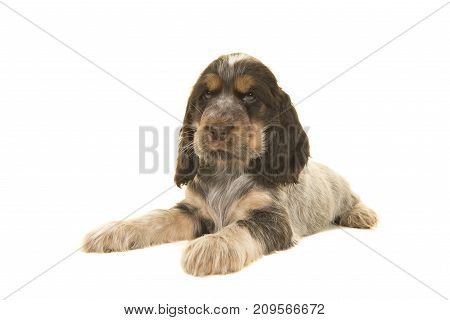 Cute multi colored roan brown english cocker spaniel puppy dog lying isolated on a white background