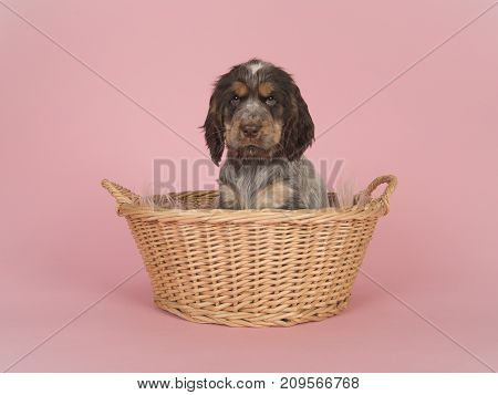 Cute cocker spaniel puppy sitting in a wicker basket on a pink background