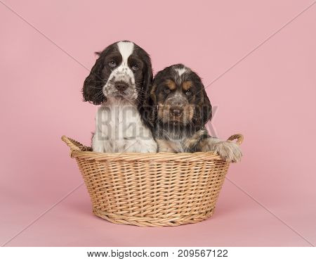 Two cute cocker spaniel puppy dogs sitting in a wicker basket on a pink background