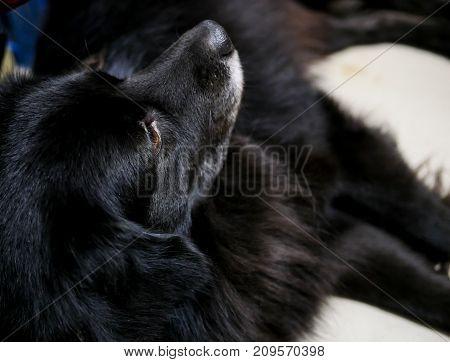 Close up side of cute fluffy black dog