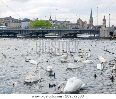 riparian scenery with lots of swans around Lake Zurich in Switzerland