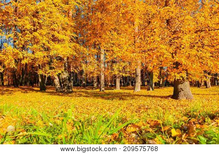 Fall landscape of sunny fall park in nice weather. Golden fall  trees with fallen fall  leaves covering the ground. Colorful fall park landscape. Fall park in sunny weather