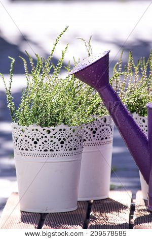 Young heathers in the white flowerpots. Calluna vulgaris in a pot on the balcony
