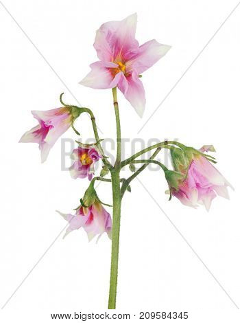blossoming potato plant isolated on white background