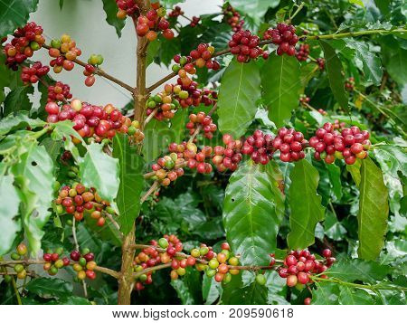 Red coffee cherry on branch arabica and robusta tree in coffee plantation before harvesting.