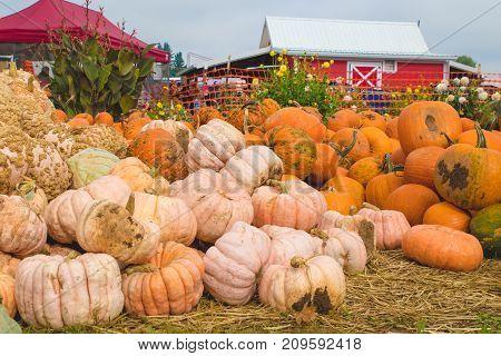 Autumn/Fall seasonal pumpkins ready for halloween & thanksgiving