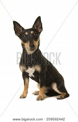 Pretty black and tan jack russel dog facing the camera sitting isolated on a white background
