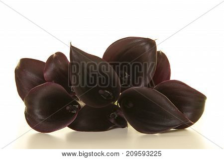 Bouquet of black calla lily flowers lying on a white background