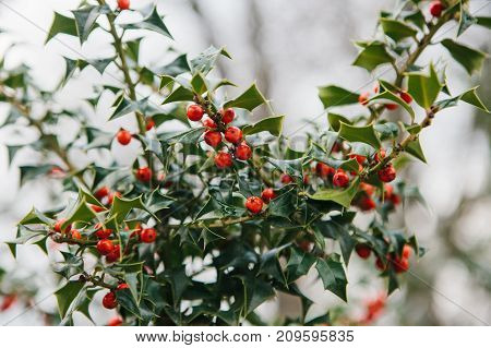 Symbol of Christmas in Europe. Close-up of holly acicular - beautiful red berries and sharp leaves on tree in cold winter weather. Close-up