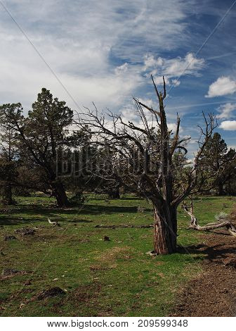 An old and thick juniper tree in the spring in a field in Central Oregon.