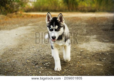 Portrait of a beautiful Siberian Husky puppy running on an alley in the Autumn Park