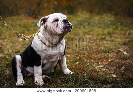 Cute English Bulldog in the collar Outside on grass in the autumn park