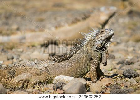 Male orange iguana standing proud with other iguana's in the background