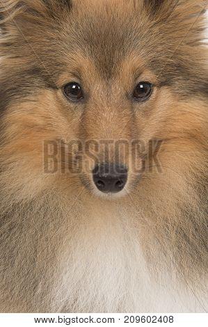 Close up portrait of a shetland sheep dog