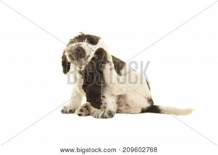 Cute sitting white and chocolate brown cocker spaniel puppy dog scratching himself isolated on a white background