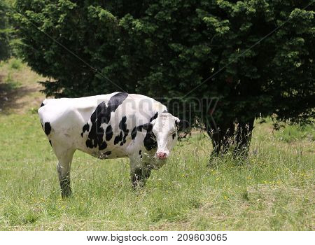Cow With White Fur With Black Spots Grazing In The Mountains