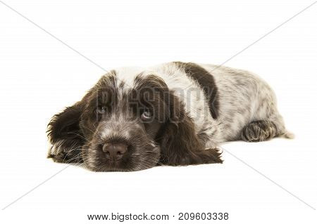 Cute white and chocolate brown cocker spaniel puppy dog lying down on the floor with its head on the floor facing the camera isolated on a white background
