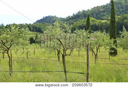 Tuscan Landascape With Olvie Trees And Cypress