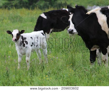 White Calf Black Spotted Cow Grazing With Mother