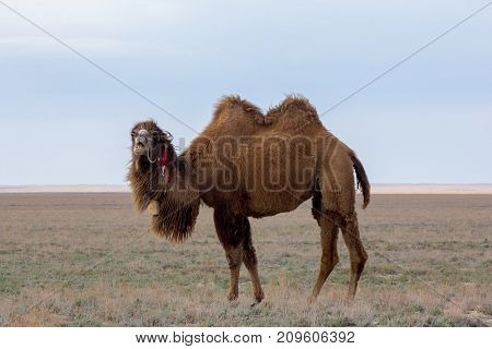 Domestic brown bactrian two-humped camel in desert of Kazakhstan
