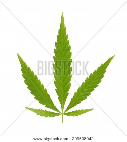 Cannabis fan leaf. Fresh green hemp fan leaf of Cannabis ruderalis. Low THC species used as tea and as herbal medicine. Macro food photo close up from above, isolated on white background.