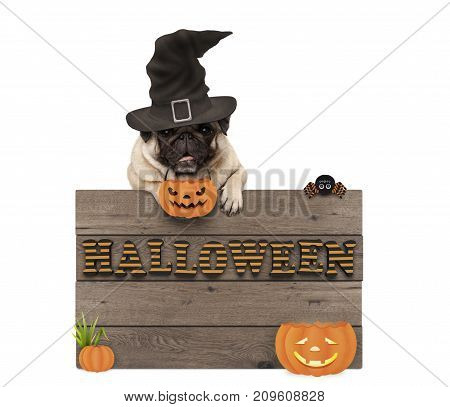 cute halloween pug puppy dog with witch hat and pumpkins and wooden board sign with letters halloween isolated on white background