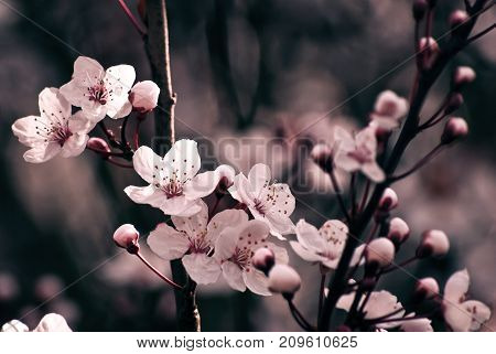 Close up of pink Cherry Blossom flowers and buds on tree branch in dappled sunlight.