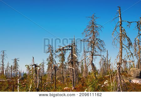 Strange dry dead trees in the nature reserve of mount Vottovaara at summer day. Republic of Karelia Russia.