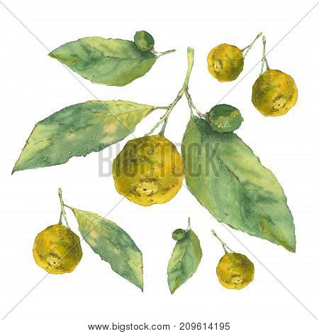 Botanical watercolor illustration of citrus with green leaves isolated on white background. Could be used as decoration for web design, cosmetics design, package, textile