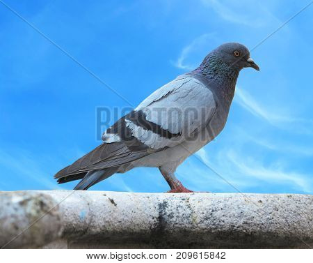 Urban pigeon dove over blue sky background