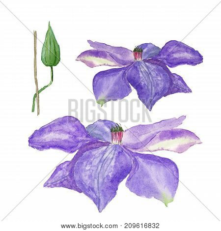Botanical watercolor illustration sketch of blue clematis flower and a bud on white background.