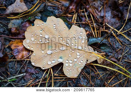 wet oak leaf with water drops in forest