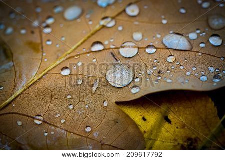 abstract water drops on autumn leafs
