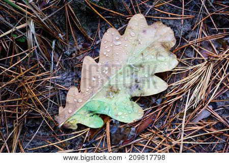 Wet autumn oak leaf with water drops