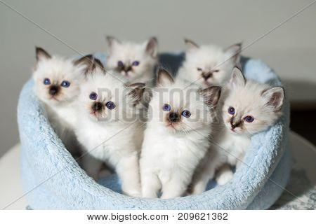 Many Kittens Cat Breeds Sacred Birma