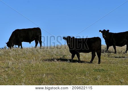 Three black Angus cattle are silhouetted against the blue sky.