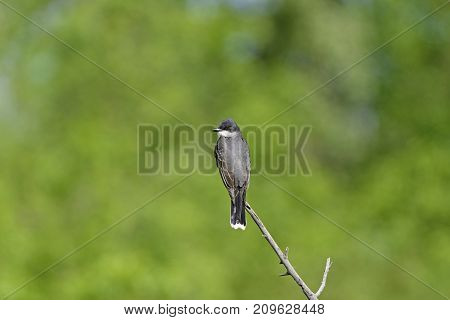 Eastern Kingbird on a Woodland Branch in Theodore Roosevelt National Park in North Dakota