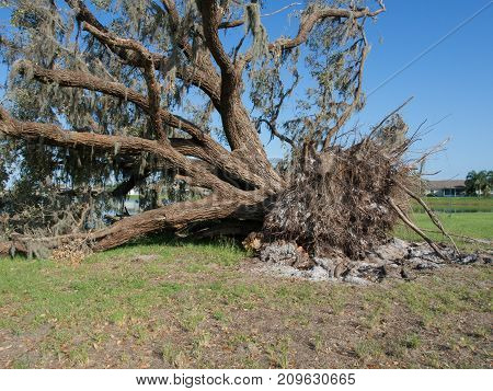 Up Close of a downed oak tree by a retention pond from Hurricane Irma in Winter Haven Florida