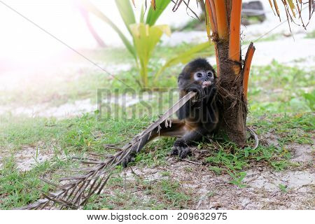 The Little Leaf-monkey on the beach. Dusky Spectacled Langur living in the wild in national parks and protected areas.