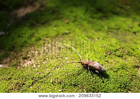 Scarab Beetle on moss in the garden. Green nature forest in Thailand.